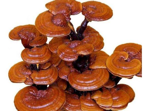 10 công dụng tuyệt vời lợi ích của nấm linh chi đối với sức khỏe con người 3