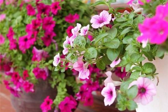 Nên chọn 10 loài hoa phù hợp nhất để trồng ở ban công nhà bạn 3
