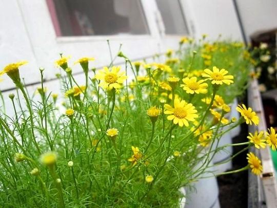 Nên chọn 10 loài hoa phù hợp nhất để trồng ở ban công nhà bạn 4