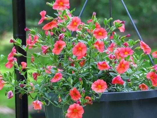 Nên chọn 10 loài hoa phù hợp nhất để trồng ở ban công nhà bạn 5