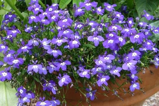 Nên chọn 10 loài hoa phù hợp nhất để trồng ở ban công nhà bạn 7