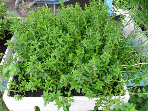 Những tác dụng tuyệt vời của 10 loại cây gia vị bạn nên trồng trong nhà 10