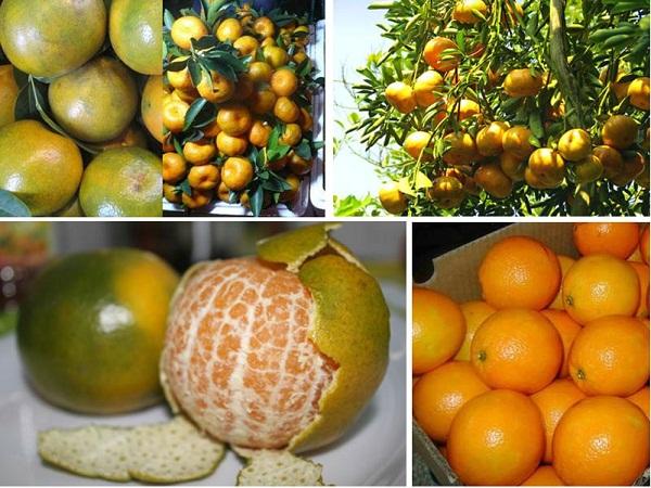 Cách nhận dạng 10 loại trái cây tiêm thuốc tăng trưởng đến từ Trung Quốc và trái cây sạch ở Việt Nam 5