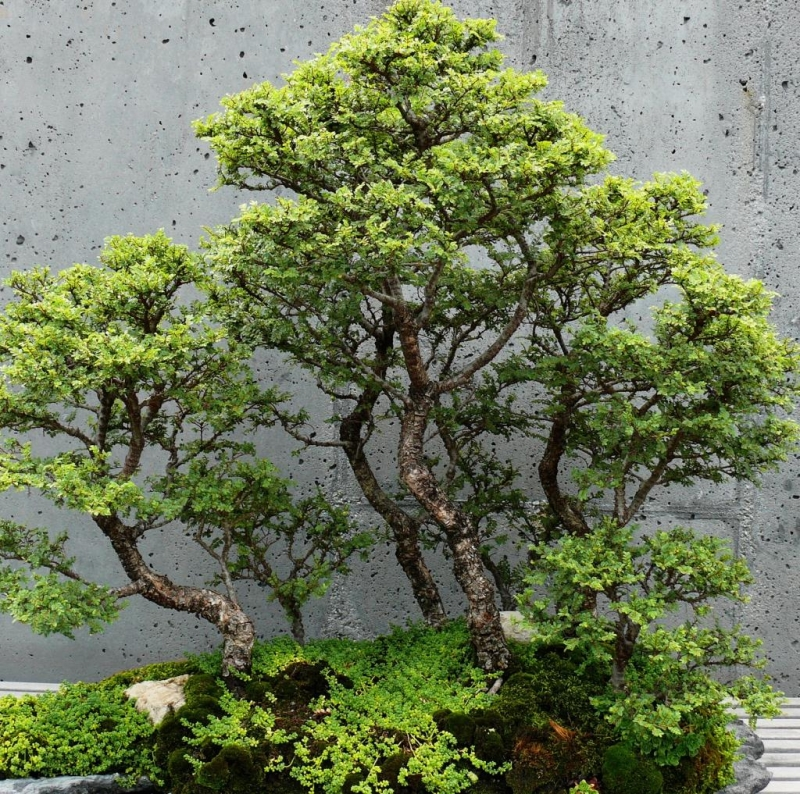 Top 10 thế uốn cây cảnh, bonsai được ưa chuộng nhất hiện nay 2