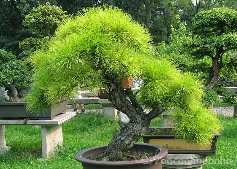 Top 10 thế uốn cây cảnh, bonsai được ưa chuộng nhất hiện nay 3