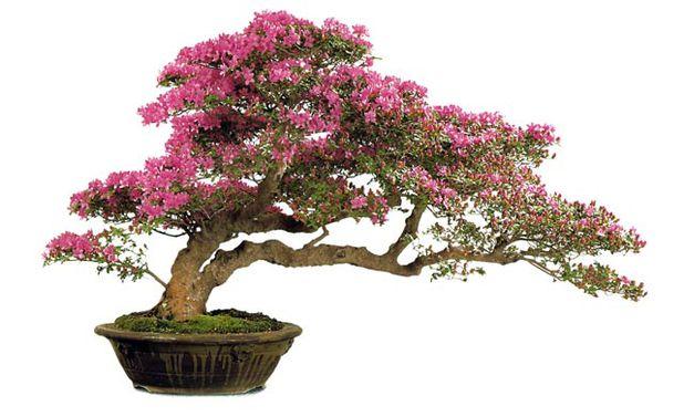Top 10 thế uốn cây cảnh, bonsai được ưa chuộng nhất hiện nay 4