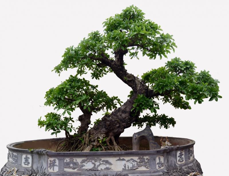 Top 10 thế uốn cây cảnh, bonsai được ưa chuộng nhất hiện nay 5