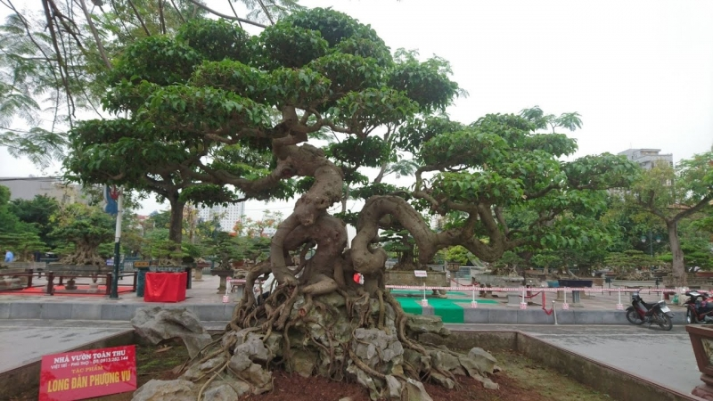 Top 10 thế uốn cây cảnh, bonsai được ưa chuộng nhất hiện nay 8