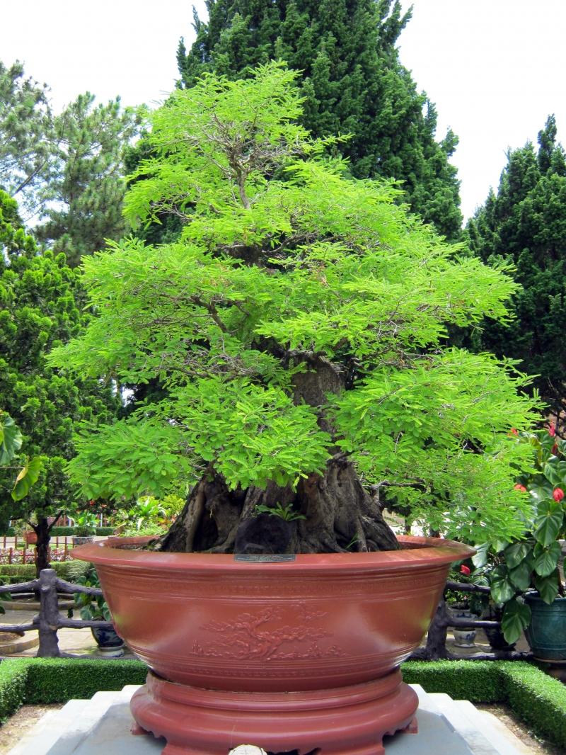 Top 10 thế uốn cây cảnh, bonsai được ưa chuộng nhất hiện nay 9