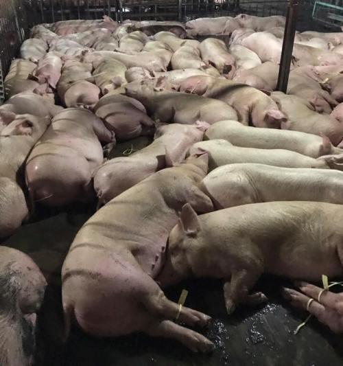Chấn động: Bắt quả tang 5.200 con lợn bị tiêm thuốc an thần để giết mổ 1