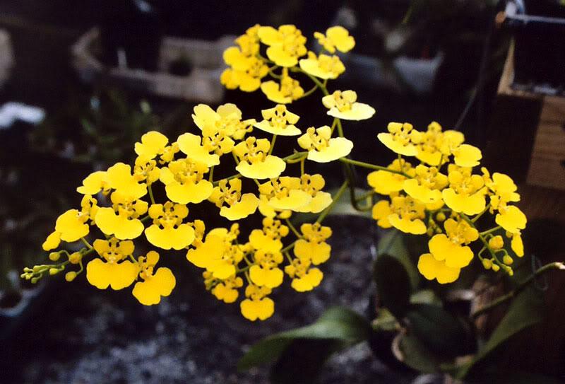 Danh sách 10 giống hoa lan đẹp nhưng dễ trồng và chăm sóc nhất hiện nay 1
