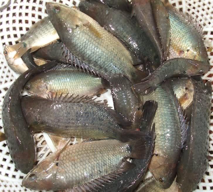 Tổng hợp 10 loài cá ngon nhất Việt Nam mà ai ăn cũng mê 4