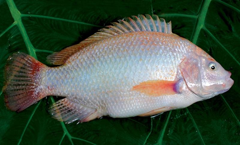 Tổng hợp 10 loài cá ngon nhất Việt Nam mà ai ăn cũng mê 5
