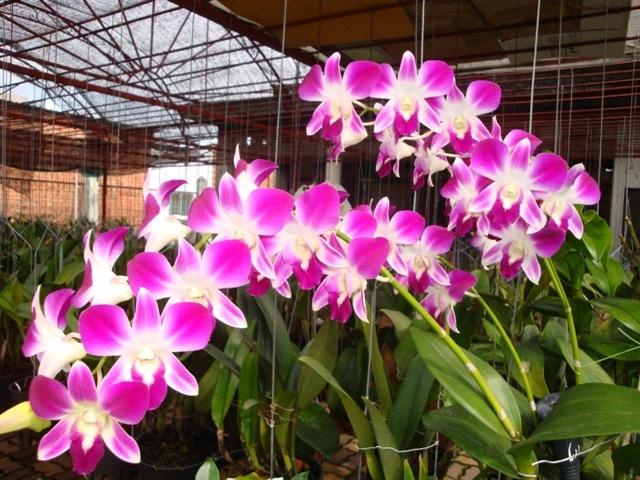 Danh sách 10 giống hoa lan đẹp nhưng dễ trồng và chăm sóc nhất hiện nay 6