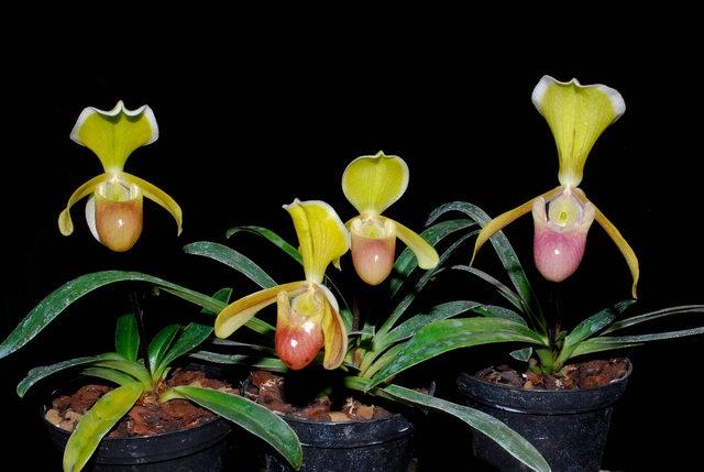 Danh sách 10 giống hoa lan đẹp nhưng dễ trồng và chăm sóc nhất hiện nay 7