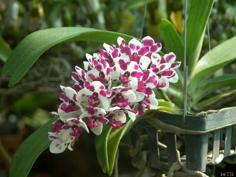 Danh sách 10 giống hoa lan đẹp nhưng dễ trồng và chăm sóc nhất hiện nay 8