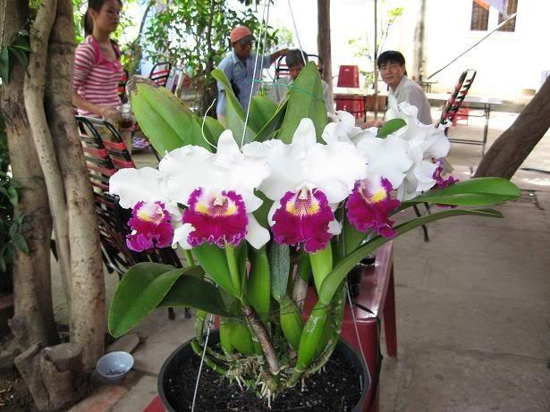 Danh sách 10 giống hoa lan đẹp nhưng dễ trồng và chăm sóc nhất hiện nay 9