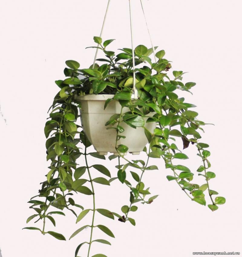 Rước tài đón lộc, tiền tài như nước nếu bạn trồng 10 loại cây này trong nhà 10