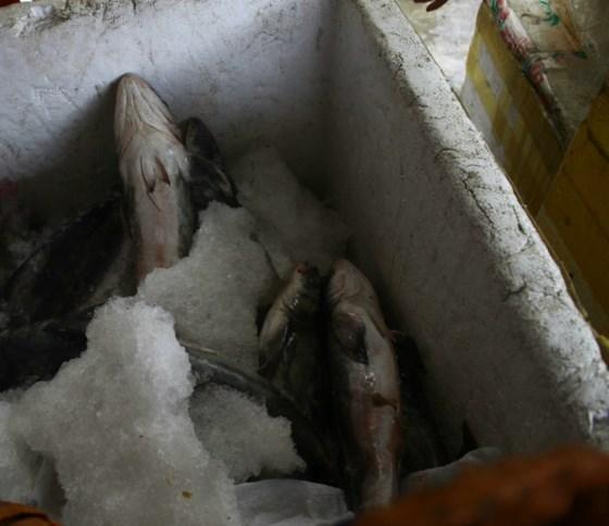 """Ngư dân khóc ròng vì không ai mua cá """"chạy lũ"""" 3"""